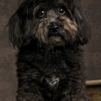 Jackadoodle Pup Dundee